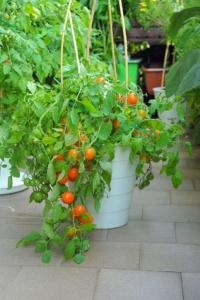 Pendulina Orange