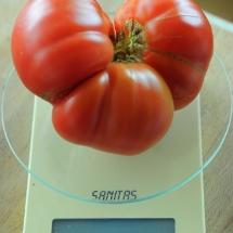 pomidor Gogosha