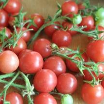 pomidor Perła Sadu
