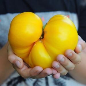 Pomidor Sean's Yellow Dwarf