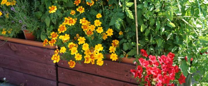 Kwiaty i zioła współrzędnie z warzywami, czyli oddział do zadań specjalnych.