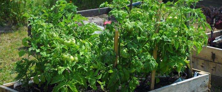 Pomidory karłowe – Dwarf idealny wybór do donic