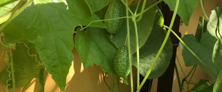 Cucamelon – uprawa balkonowa