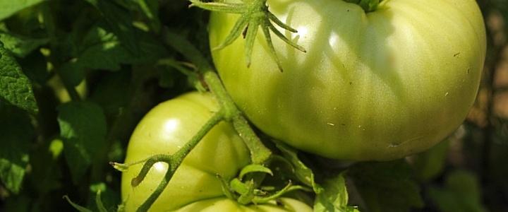 Wiosenny nie konkurs – 5 kompletów nasion pomidorów Dwarf dla czytelników bloga.