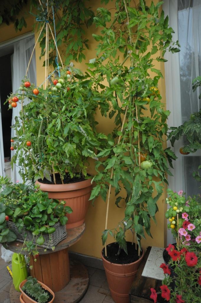samokończący i wysoki pomidor