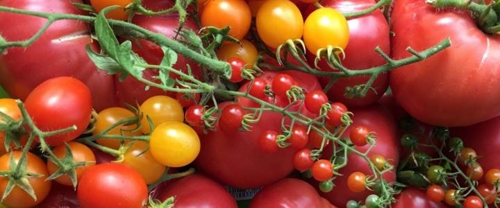 Co kryje się w opisach pomidorowych odmian – wysokie, samokończące, co to oznacza.