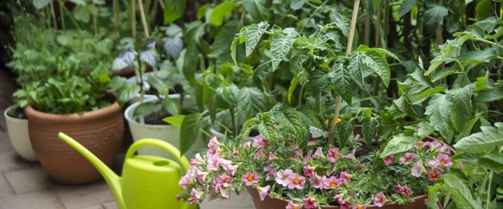 Od czego zacząć uprawę warzyw na balkonie.