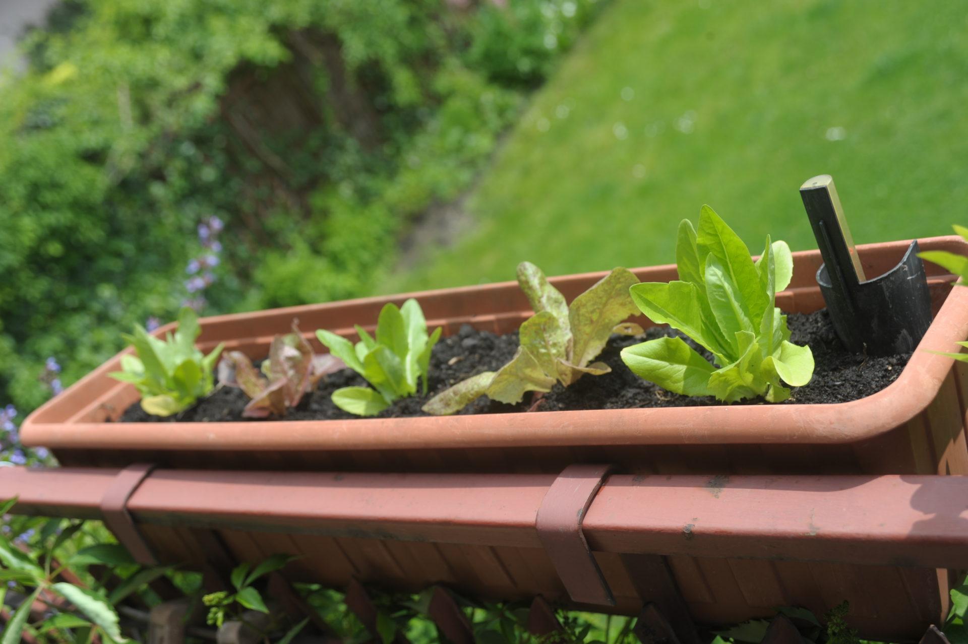 sałata w balkonowej skrzynce